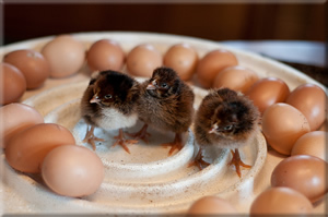 Barnevelder Chicks and Eggs